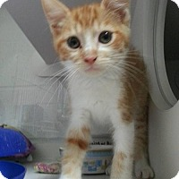 Domestic Shorthair Kitten for adoption in Parma, Ohio - Tyrion