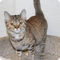 Domestic Shorthair Cat for adoption in Greensboro, North Carolina - Shania