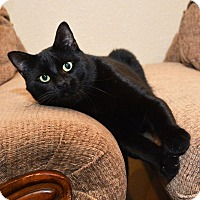Domestic Shorthair Cat for adoption in Leander, Texas - Reggie
