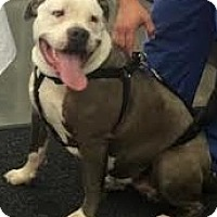 Adopt A Pet :: Blue,best bully baby! - Snohomish, WA