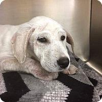 Adopt A Pet :: Baxter - Plano, TX