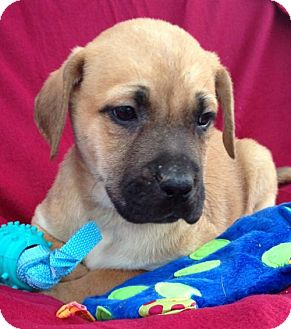 Labrador Retriever Mix Puppy for adoption in Hartford, Connecticut - Cory