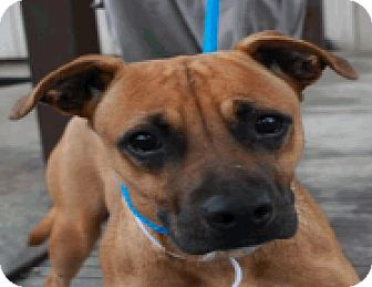 Mouth cur boxer mix dog for adoption in fort collins colorado hazel