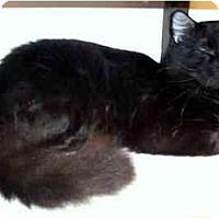 Adopt A Pet :: Valentino - Alexandria, VA