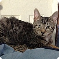 Domestic Shorthair Kitten for adoption in Pittstown, New Jersey - Lux