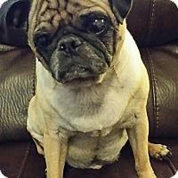 Adopt A Pet :: Rocky Balboa - Grapevine, TX