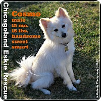 Adopt A Pet :: Cosmo - Elmhurst, IL