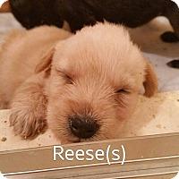 Adopt A Pet :: Reese - Alpharetta, GA