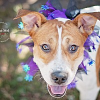 Boxer Mix Dog for adoption in Kingwood, Texas - Charlie