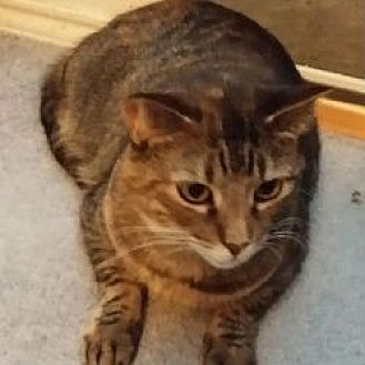 Domestic Mediumhair Cat for adoption in Kennedale, Texas - Prim