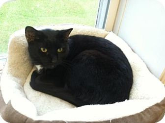 Domestic Shorthair Cat for adoption in Harrisburg, Pennsylvania - Aida - Come Visit Me @ Cavanaugh's Collars!
