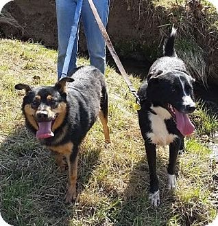 Shepherd (Unknown Type)/Border Collie Mix Dog for adoption in Harrisonburg, Virginia - Simon and Garfunkel (ETAA)