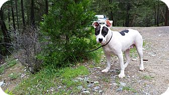 American Staffordshire Terrier/Boxer Mix Dog for adoption in Rogue River, Oregon - Miss Violet