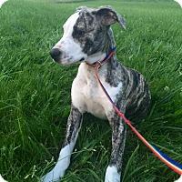 Adopt A Pet :: Louisa Von Trapp - Columbia, MD