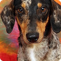 Adopt A Pet :: Happy DachHeeler Mix - St. Louis, MO