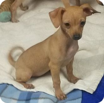 Chihuahua/Dachshund Mix Puppy for adoption in Leming, Texas - Olive