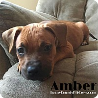 American Pit Bull Terrier/American Staffordshire Terrier Mix Puppy for adoption in Toledo, Ohio - Amber