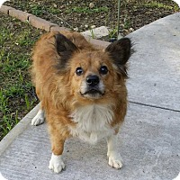 Sheltie, Shetland Sheepdog Mix Dog for adoption in San Angelo, Texas - Gertie Bell