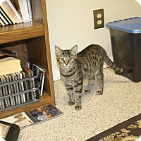 Domestic Shorthair Cat for adoption in St. Louis, Missouri - Lexus