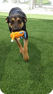 German Shepherd Dog/Black and Tan Coonhound Mix Dog for adoption in Dallas, Texas - Elkie