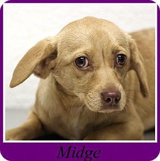 Pug/Labrador Retriever Mix Dog for adoption in Sullivan, Indiana - Midge