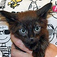 Domestic Shorthair Kitten for adoption in Wildomar, California - Edward