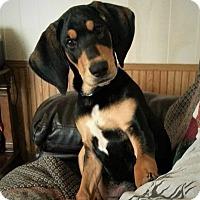Adopt A Pet :: Remi - gorgeous big boy - Pewaukee, WI