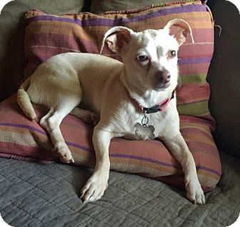 Chihuahua Dog for adoption in Loganville, Georgia - Thelma