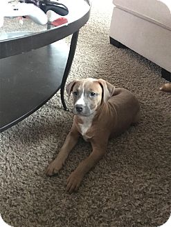 Boxer/Terrier (Unknown Type, Medium) Mix Puppy for adoption in Albuquerque, New Mexico - LILLY
