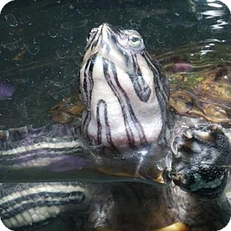 Turtle - Other for adoption in Fairport, New York - Myrtle