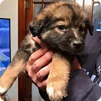 Adopt A Pet :: Bear - ST LOUIS, MO