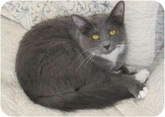 Houston, TX - Russian Blue. Meet Sari a Cat for Adoption.