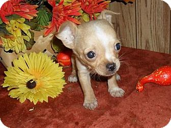 Chihuahua Puppy for adoption in Chandlersville, Ohio - Pixie