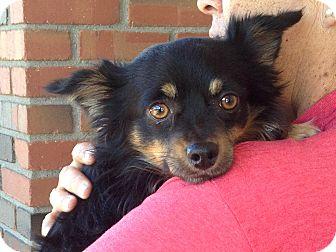 Dachshund/Chihuahua Mix Dog for adoption in Phoenix, Arizona - Fonzie