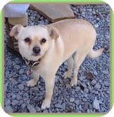 Chihuahua Mix Dog for adoption in Hagerstown, Maryland - Clarice (URGENT)