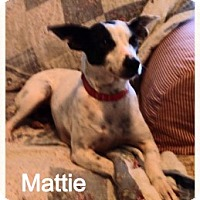 Adopt A Pet :: Mattie - Saint Louis, MO