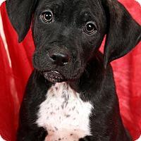 Adopt A Pet :: Tex BoxerLab - St. Louis, MO