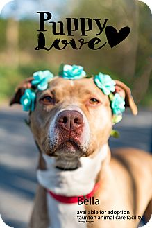 American Staffordshire Terrier Mix Dog for adoption in Taunton, Massachusetts - BELLA