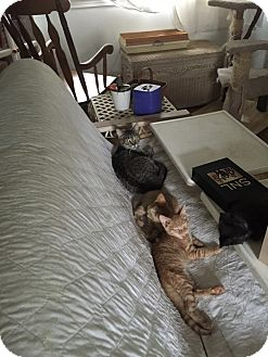 Domestic Shorthair Cat for adoption in Warren, Michigan - Sagittarius