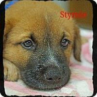 Adopt A Pet :: Stymie - Old Saybrook, CT