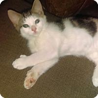 "Polydactyl/Hemingway Cat for adoption in Staten Island, New York - Zig Zag AKA ""Six"""