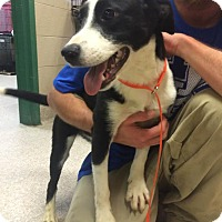 Border Collie Mix Puppy for adoption in Washington, D.C. - Mavis - NEEDS FOSTER!