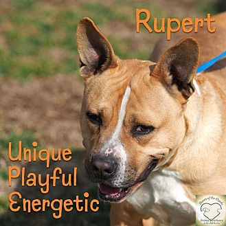 Pit Bull Terrier/Shepherd (Unknown Type) Mix Dog for adoption in Washburn, Missouri - Rupert