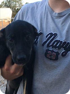 Australian Shepherd/Shepherd (Unknown Type) Mix Dog for adoption in Parker, Kansas - Moondrop