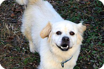 Tibetan Terrier Mix Dog for adoption in Allentown, Pennsylvania - Buckwheat