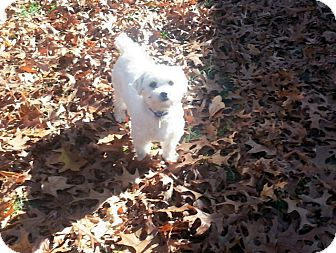 Maltese Dog for adoption in Holland, Ohio - Andie