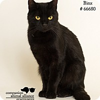 Domestic Shorthair Cat for adoption in Baton Rouge, Louisiana - Binx