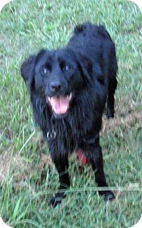 Australian Shepherd/Border Collie Mix Dog for adoption in Houston, Texas - Drew