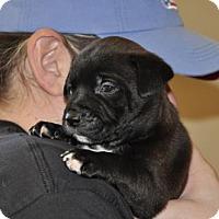 Adopt A Pet :: Fellini - Alpharetta, GA