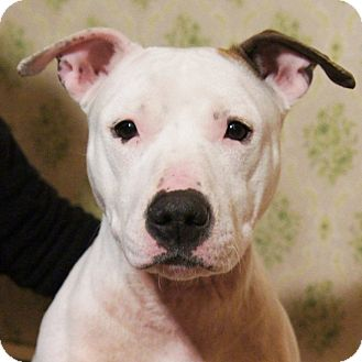 Labrador Retriever/American Pit Bull Terrier Mix Dog for adoption in Medford, Massachusetts - Chula
